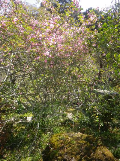 08-2)   18.03.30 鎌倉「光則寺」参道の桜と境内の天然記念物 花海棠が咲いたヨ