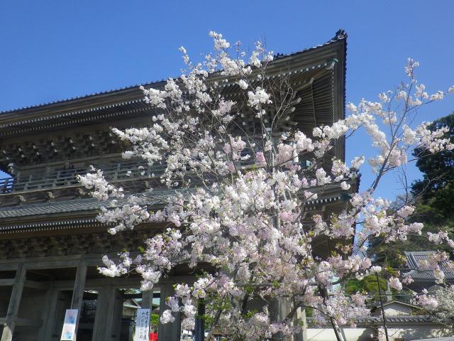 03-1)   18.03.30 鎌倉「光明寺」満開の桜
