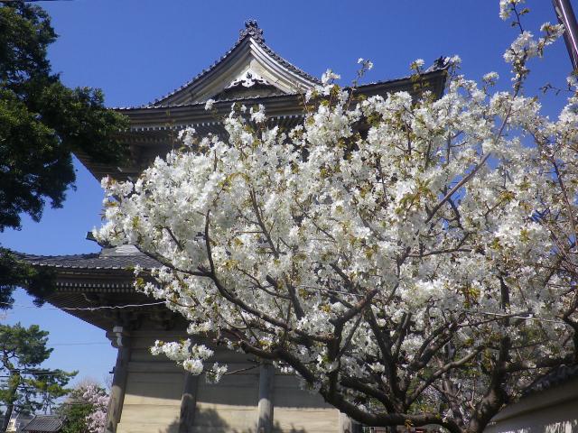 04-2)   18.03.30 鎌倉「光明寺」満開の桜