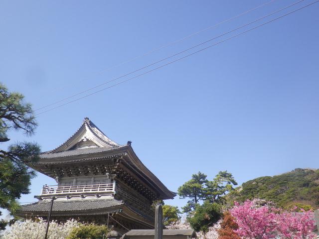 05-1)   18.03.30 鎌倉「光明寺」満開の桜