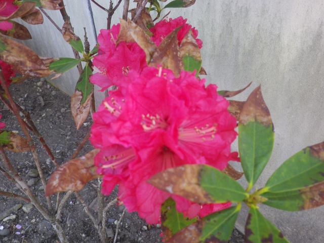 07-2)   18.03.30 鎌倉「光明寺」満開の桜