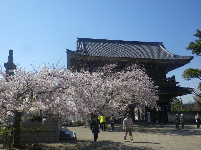 08)   18.03.30 鎌倉「光明寺」満開の桜