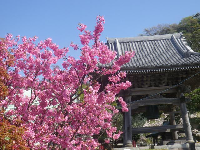 13)   18.03.30 鎌倉「光明寺」満開の桜