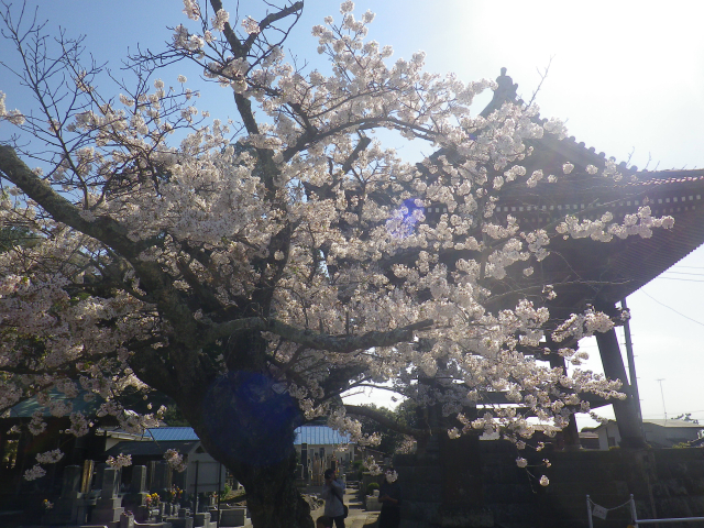 14)   18.03.30 鎌倉「光明寺」満開の桜