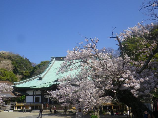 17)   18.03.30 鎌倉「光明寺」満開の桜