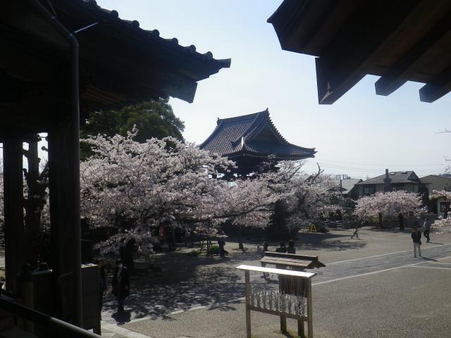 20)   18.03.30 鎌倉「光明寺」満開の桜
