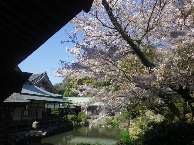 25)   18.03.30 鎌倉「光明寺」満開の桜
