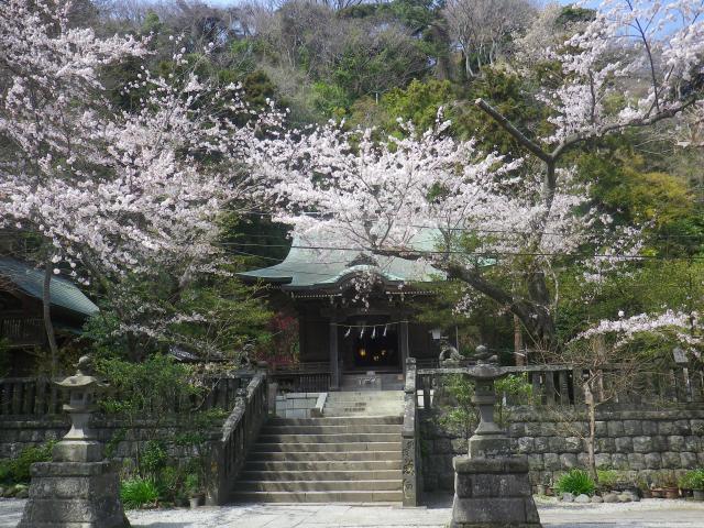 02)    18.03.30 鎌倉「御霊神社」の桜