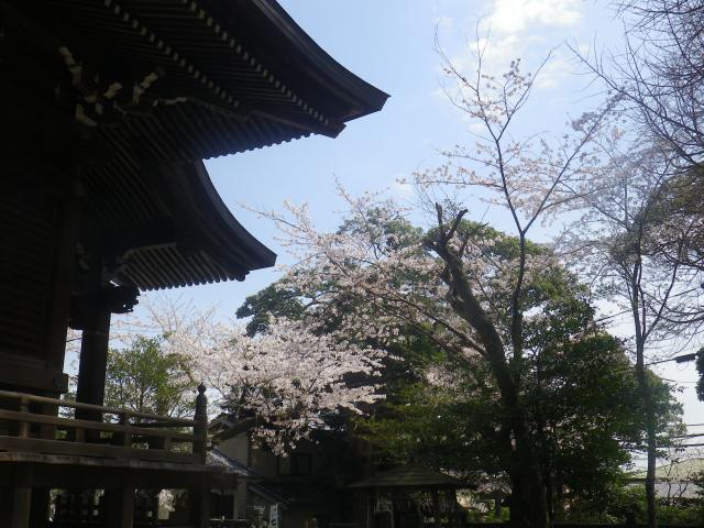05)    18.03.30 鎌倉「御霊神社」の桜