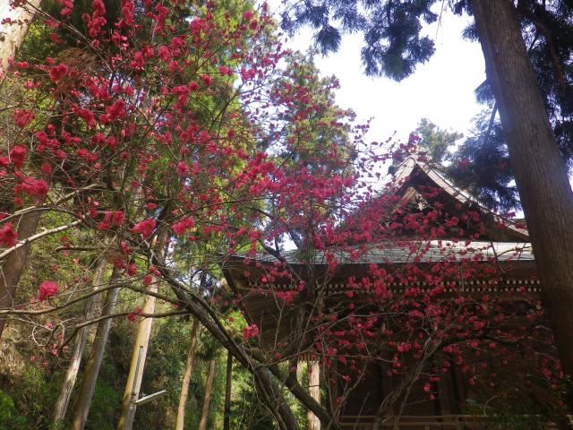 06-1)    18.03.30 鎌倉「御霊神社」の桜