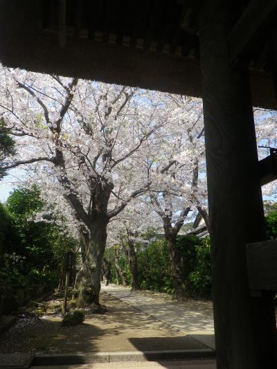 03)18.03.30 鎌倉「極楽寺」山門外から見た境内参道の桜