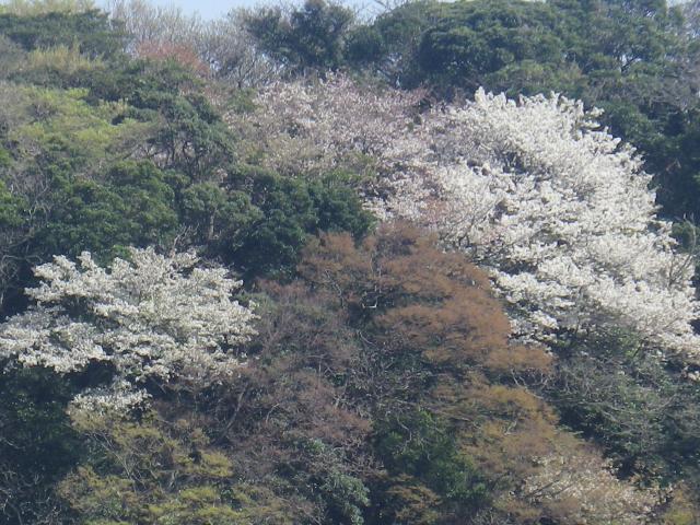 02-1)    18.03.30  材木座海岸側から見た天照山の山桜