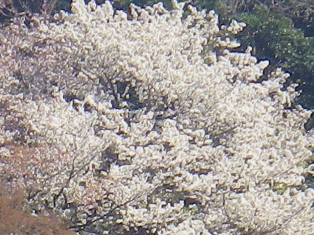 02-3)    18.03.30  材木座海岸側から見た天照山の山桜