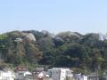 01)    18.03.30  材木座海岸側から見た天照山の山桜