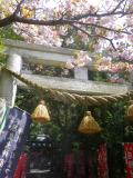 04)    18.04.13 鎌倉 大町「八雲神社」の八重桜
