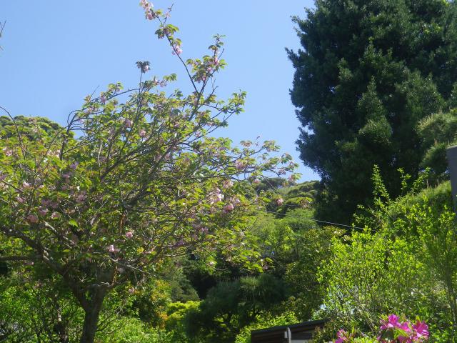 02-1)   八重桜を撮ったつもり  18.04.19 鎌倉「妙法寺」通用門周辺のツツジ