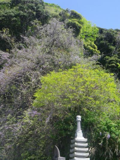 01-2)      18.04.19 鎌倉「大宝寺」盛りを過ぎて散り始めた山藤の花