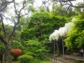 A05-1) 白藤を書院前庭から竹林方向 _ 書院前の藤棚 鎌倉「英勝寺」