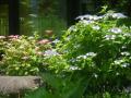 06-1)   18.06.01 旧・川喜多邸の庭、紫陽花が咲く頃。 _ 鎌倉市雪ノ下「鎌倉市川喜多映画記念館」遊歩道から