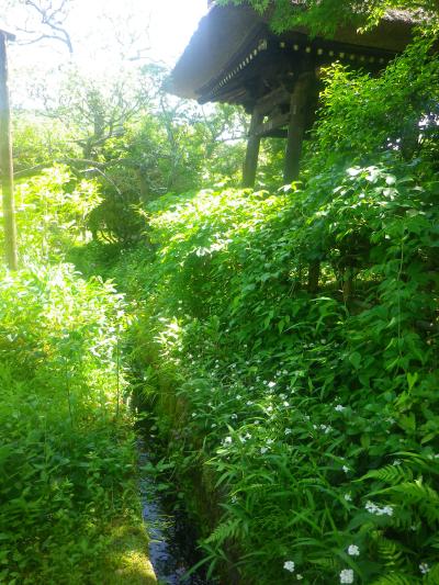 07-1) 境内他所にもある ' かもしれない ' が、私が知る 八重の花が咲くドクダミ の群生場所。この時期でないと気づかないであろうことは当然だが、白連社舎入り口寄りからのハナシ