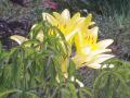 09-2) 庫裡玄関前から見た前庭の黄色いユリをズームアップ  _ 18.06.04 六月に入って直ぐの 鎌倉「教恩寺」
