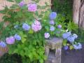08-1) トイレを見つめながら咲くアジサイ  _ 18.06.04 鎌倉「本覚寺」控えめに咲く紫陽花