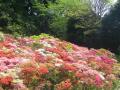 IMGP0003 _ 18.04.20 葉山「花の木公園」と「葉山町役場」のツツジ