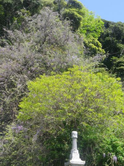 01-3)      18.04.19 鎌倉「大宝寺」盛りを過ぎて散り始めた山藤の花