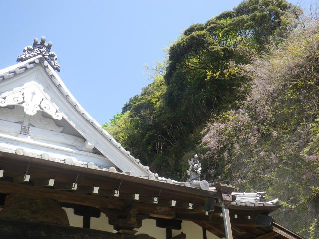 02)   18.04.19 鎌倉「大宝寺」盛りを過ぎて散り始めた山藤の花