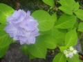B05-2) 丸山ボタン _ 18.05.15 鎌倉「光則寺」 今年は少し早めに ヤマアジサイ/ガクアジサイ が咲き揃った頃