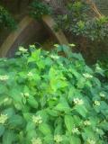 01)    18.05.21 鎌倉 ' 葉山やぐら ' 周辺の紫陽花を偵察