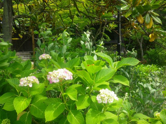 09) 紫陽花の名所ではないが、ひっそりと咲き始めた西洋アジサイ。 18.06.01 六月初日の 鎌倉「浄光明寺」 オヨヨ!早っ!一部の萩が咲いてたヨ