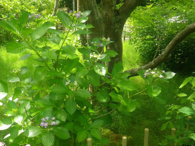 11-1) ひっそりと咲き始めたヤマアジサイ。 18.06.01 六月初日の 鎌倉「浄光明寺」 オヨヨ!早っ!一部の萩が咲いてたヨ