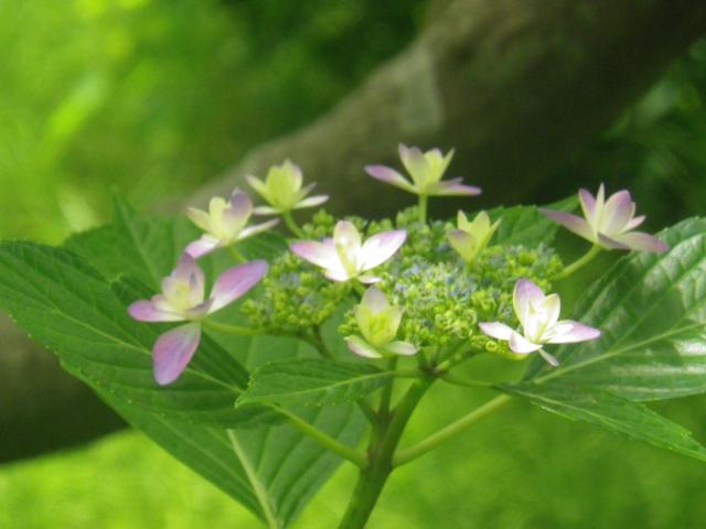 11-2) ひっそりと咲き始めたヤマアジサイ。 18.06.01 六月初日の 鎌倉「浄光明寺」 オヨヨ!早っ!一部の萩が咲いてたヨ