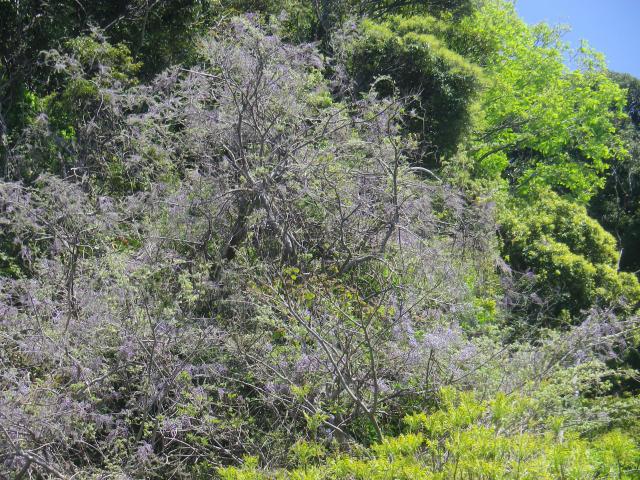 01-4)   18.04.19 鎌倉「大宝寺」盛りを過ぎて散り始めた山藤の花
