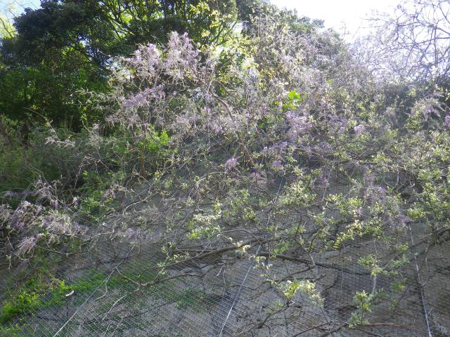 03-1)   18.04.19 鎌倉「大宝寺」盛りを過ぎて散り始めた山藤の花