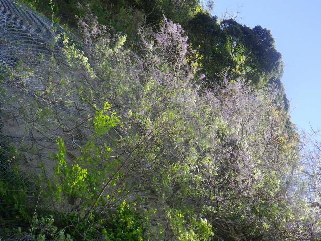 06)   18.04.19 鎌倉「大宝寺」盛りを過ぎて散り始めた山藤の花
