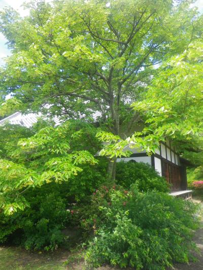 03-01) 客殿右前の樹木。 まだ低い太陽の反射で新緑が眩しい・・・ と近づいたら・・・・・・  18.06.01 六月初日の 鎌倉「浄光明寺」 オヨヨ!早っ!一部の萩が咲いてたヨ
