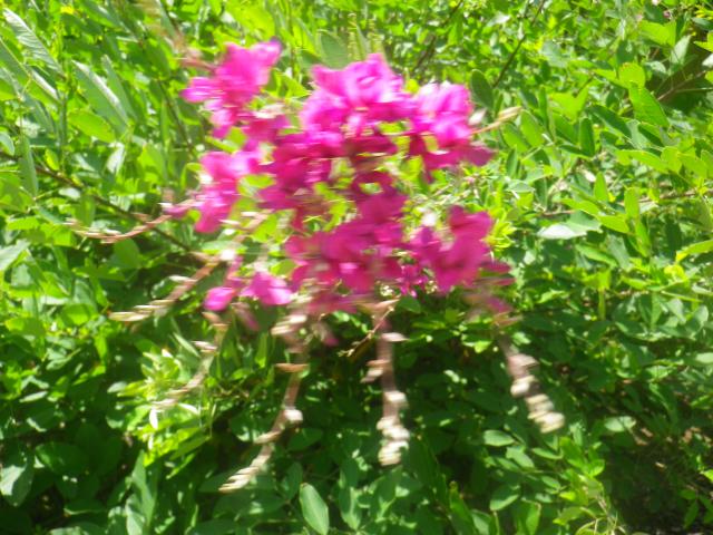 05-2) ここの萩も咲き始めていた _  前庭を挟んだ客殿対面の、手水鉢周辺。  18.06.01 六月初日の 鎌倉「浄光明寺」 オヨヨ!早っ!一部の萩が咲いてたヨ