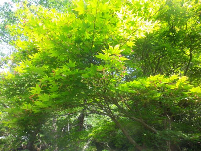14-1) 阿弥陀堂への参道周辺。 こっちのカエデ科植物の新緑が眩しいと思いながら、よぉ~く視たら・・・・・・ 18.06.01 六月初日の 鎌倉「浄光明寺」 オヨヨ!早っ!一部の萩が咲いて