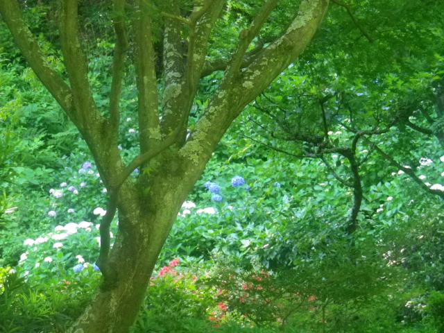 09-1) ん?今日は裏千家縁の茶室「寒雲亭」の門が空いているなぁっと思って、奥のアジサイを撮った。閉まった門のワンパターン何度も撮ってきたけど、今日こそ門と一緒に撮るべきだ