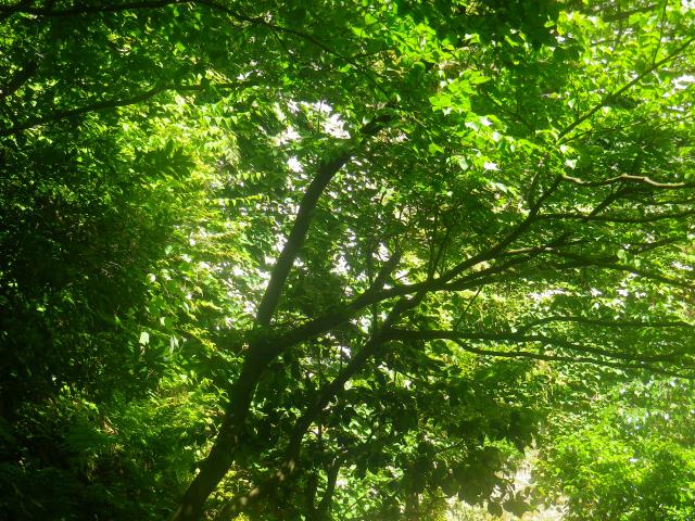 14-01) 本堂裏のイワガラミよりも先に、毎年の秘密の場所???から撮ったイワガラミ。 花の白がスッ飛んでしまったが、手前の木が成長して 奥の崖を這い登るイワハラミが見づらくなっ