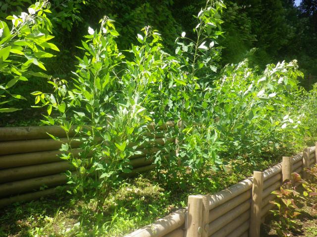 05-2) 以前は紫陽花が植えられていが、新たに植え替えられた山側の萩と他の植栽。   18.06.08 紫陽花の寺から 萩の寺になる ' らしい ' 鎌倉「成就院」