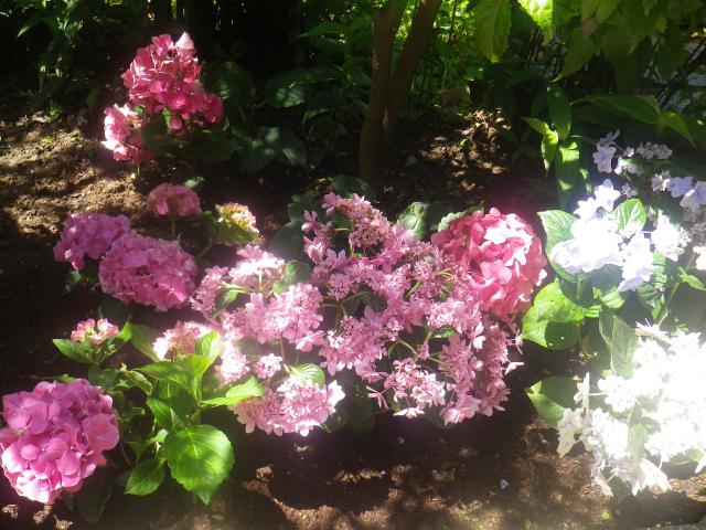 12)  山門を潜ってからの境内に地植えされた紫陽花   18.06.08 紫陽花の寺から 萩の寺になる ' らしい ' 鎌倉「成就院」