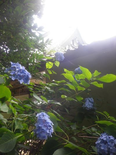 06-2)    18.06.08 鎌倉「光明寺」 大殿裏の古道にも紫陽花が咲いた