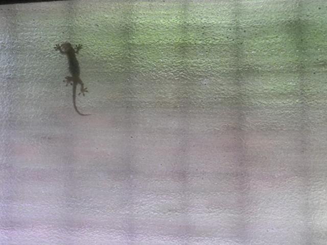01)    18.06.08 おはよう! ヤモリさん! あの力を駆使して窓ガラスに貼り付いているのですネ!