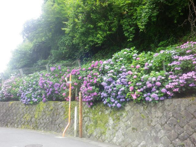 05-1)   18.06.14 周辺住民による丹精の賜物、道路沿いの紫陽花2018