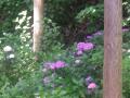 """D01-2) 本殿裏から  """" 紫陽花の小径(こみち) """" 方向 _ 18.06.08 鎌倉「御霊神社(権五郎神社)」 """" 紫陽花の小径 """" が色づく頃"""