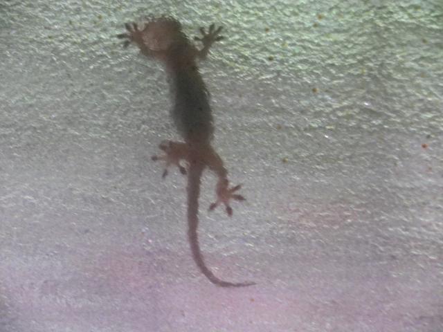 02)    18.06.08 おはよう! ヤモリさん! あの力を駆使して窓ガラスに貼り付いているのですネ!