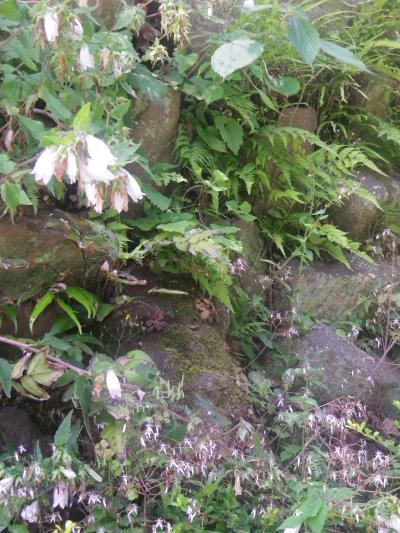 07-1) 階段の最上段周辺、ホタルブクロ と ユキノシタ   18.06.08 紫陽花の寺から 萩の寺になる ' らしい ' 鎌倉「成就院」